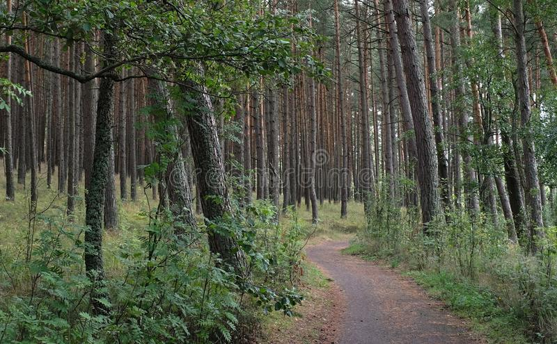Secret path in the woods invites to explore. A wavy secret path in the pine forest, inviting to explore royalty free stock photos