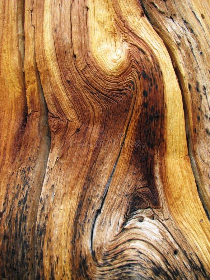 Wavy wood grain. Knotted dead pine tree trunk showing wavy wood grain stock image