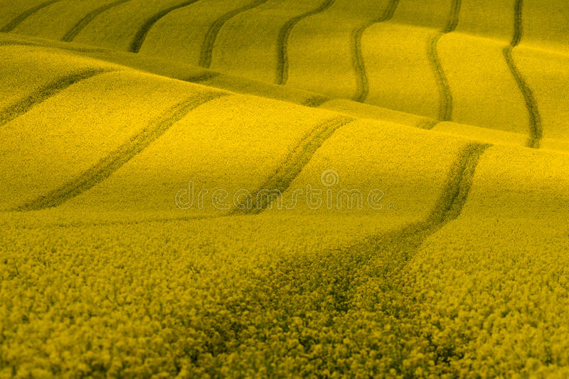 Wavy yellow rapeseed field with stripes and wavy abstract landscape pattern. Corduroy summer rural landscape in yellow tones. stock image