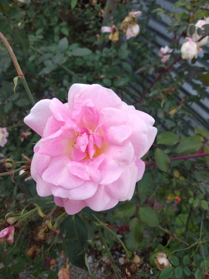 Wawo Pink Flowers stock photography