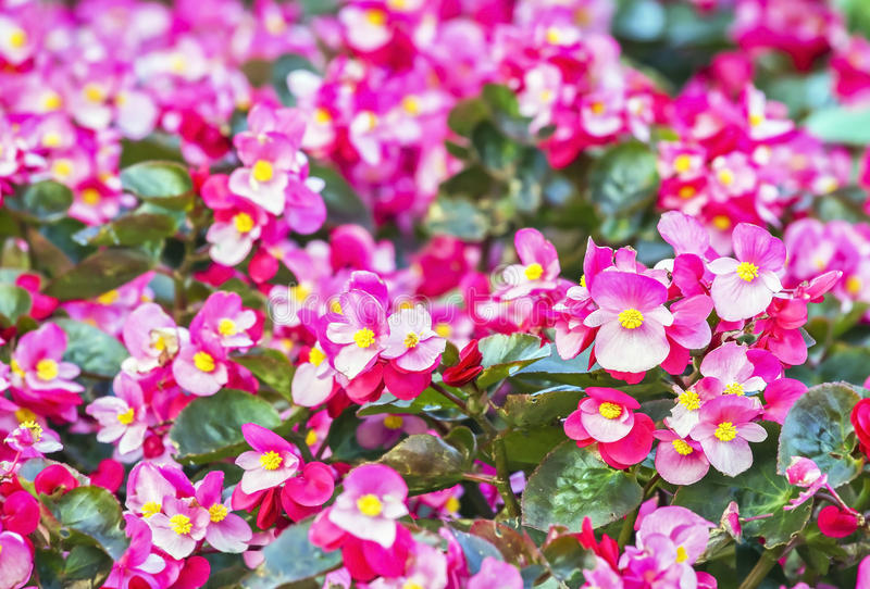 Wax begonia flower stock images
