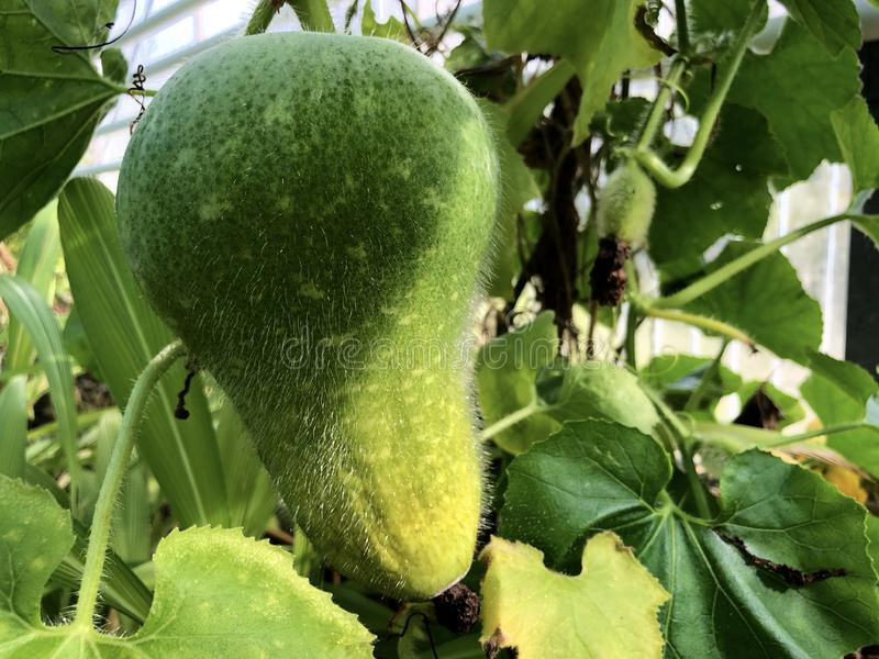 The wax gourd Benincasa hispida Thunb. Cogn., Ash gourd, White gourd, Tallow gourd, Ash pumpkin, Winter melon or Wachskurbis stock photography
