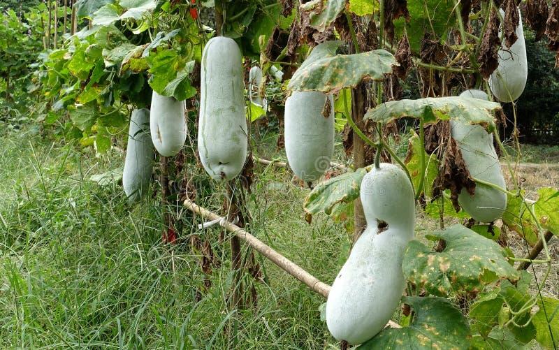 Wax gourd. Farmland is the growth of wax gourd royalty free stock photos