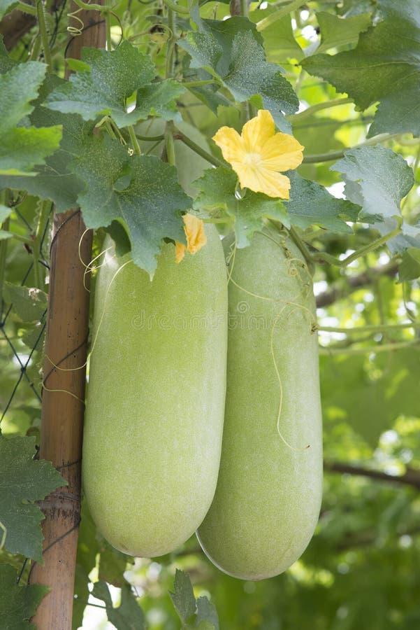 Wax gourd in a garden. Wax gourd on its tree in garden royalty free stock image
