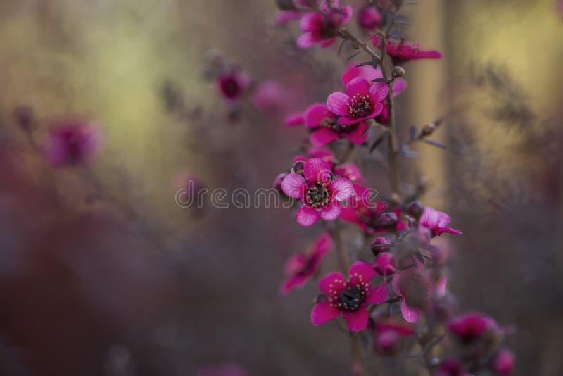 Wax myrtle or chamelacium Chamelaucium uncinatum royalty free stock photography