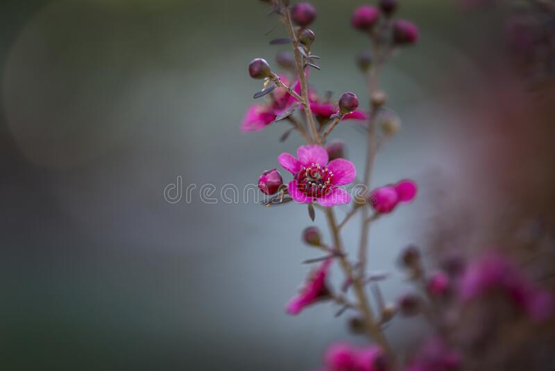 Wax myrtle or chamelacium Chamelaucium uncinatum royalty free stock photos
