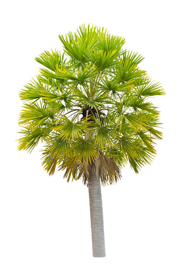 Download Wax Palm(Copernicia Alba)Palm Tree. Stock Image - Image: 31062575