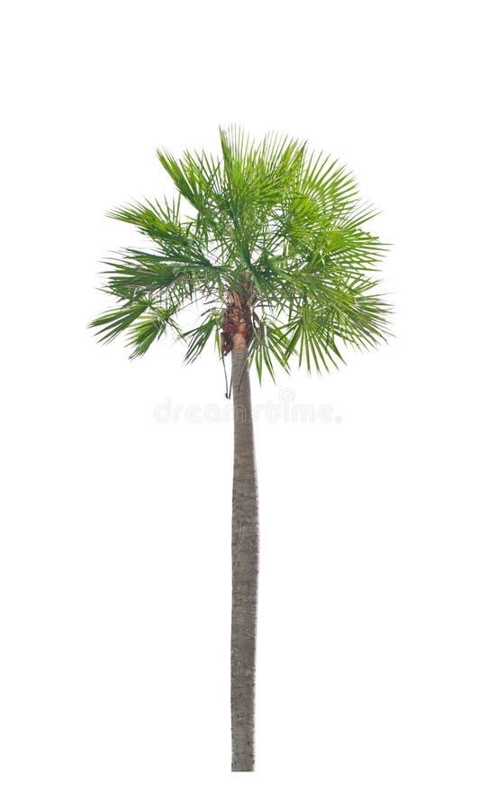 Download Wax Palm(Copernicia Alba)Palm Tree. Stock Photo - Image of wedge, alba: 33139906