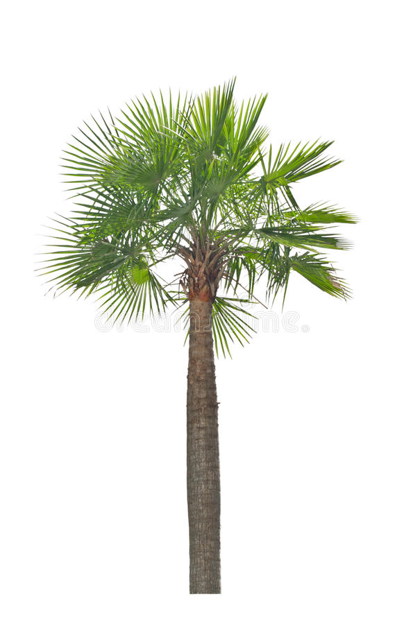 Download Wax Palm(Copernicia Alba)Palm Tree. Stock Image - Image of vacation, travel: 33139915