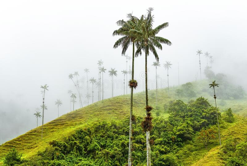 Wax Palm Trees, Cocora Valley, Colombia. Wax Palm Trees, Ceroxylon quindiuense, the highest in the world, in the mist of the Cocora Valley near Salento and royalty free stock images