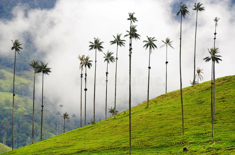 The wax palm trees from Cocora Valley are the national tree, the symbol of Colombia and the World's largest palm. The Cocora valley - Valle de Cocora in royalty free stock photo