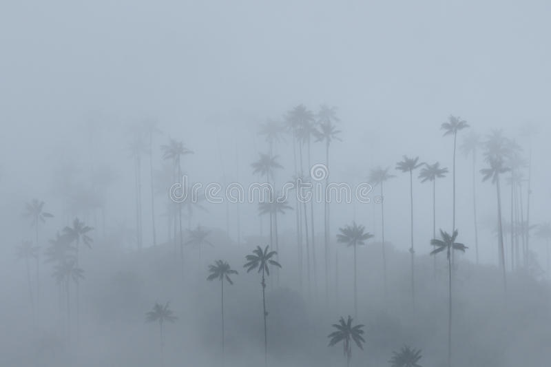 Wax palms in the mist, Cocora Valley, Colombia royalty free stock image