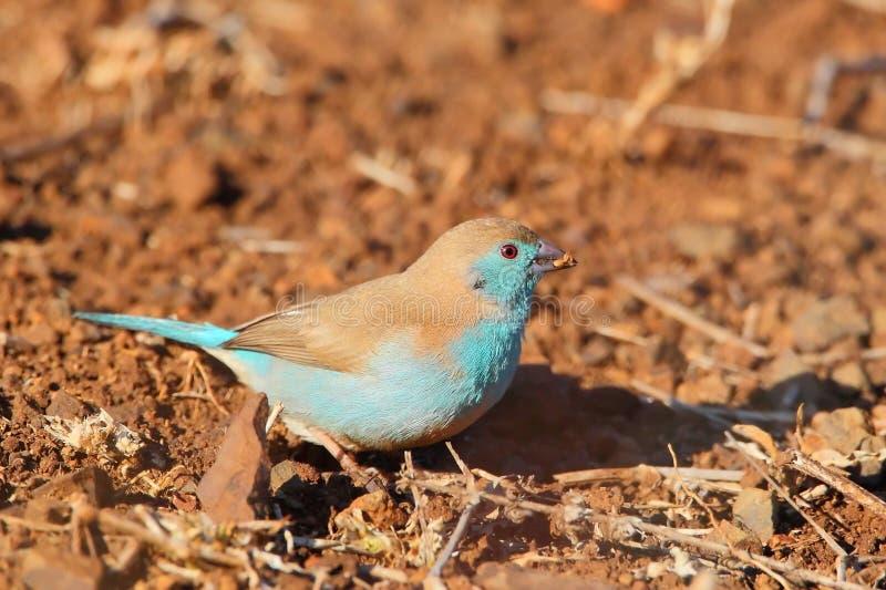 Waxbill azul foto de archivo libre de regalías