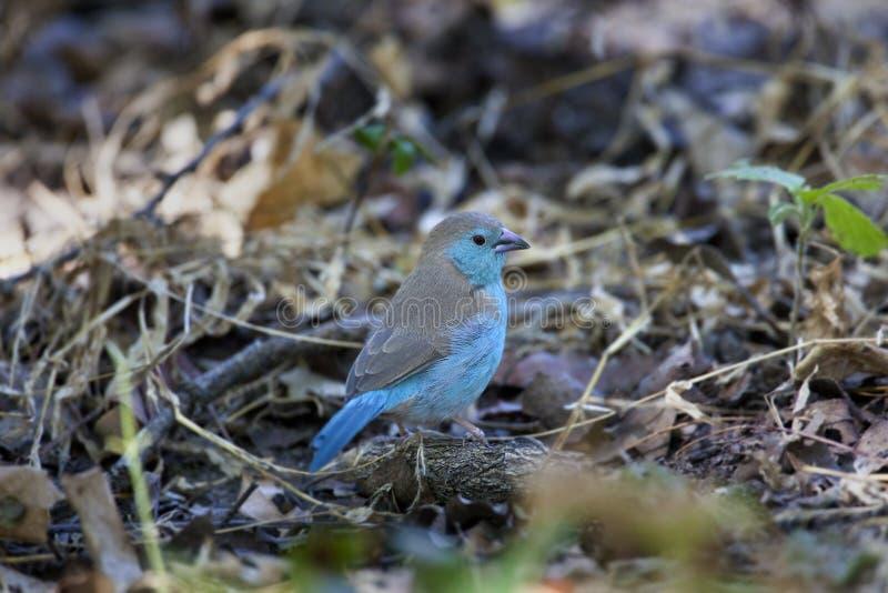Waxbill azul (anglolensis) de Uraeginthus - Botswana foto de archivo