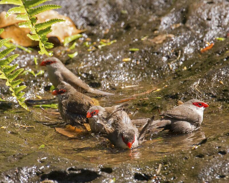 Waxbill Bath Time stock images