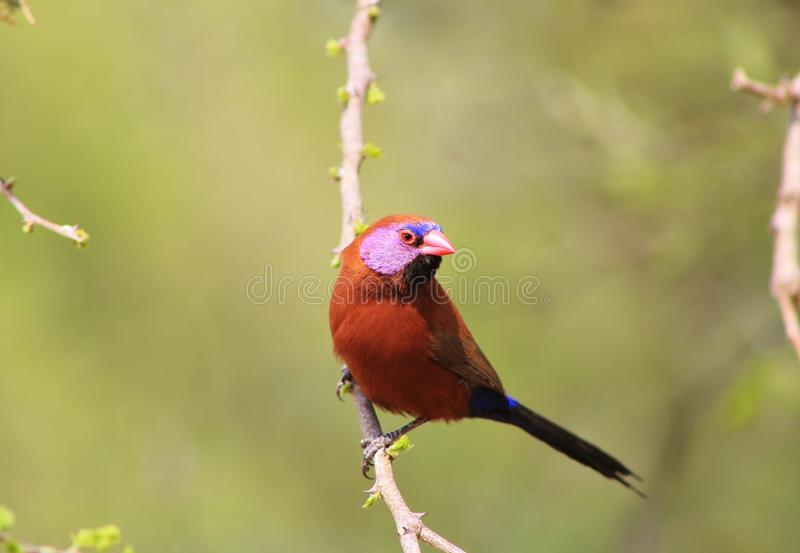 Waxbill, Violeteared - Gamebird africano e orgulho 3 fotos de stock