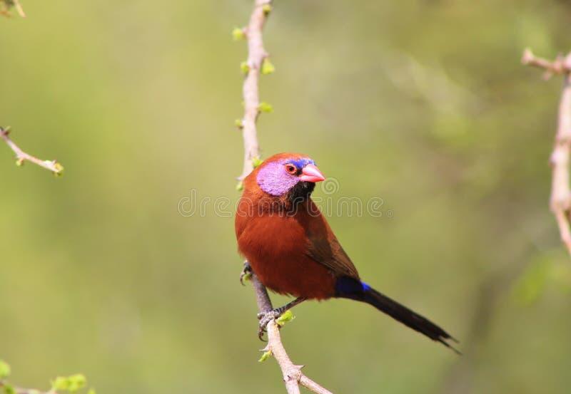 Waxbill, Violeteared - Gamebird africano y orgullo 3 fotos de archivo