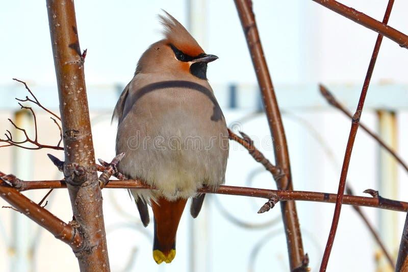 Waxbird стоковое фото rf