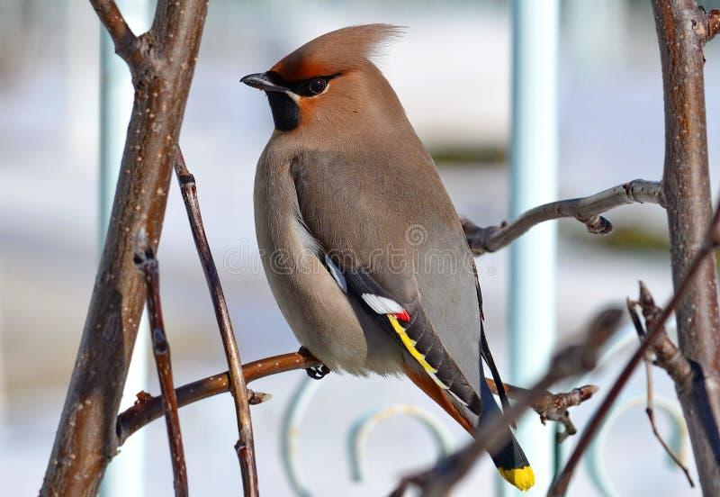 Waxbird стоковые изображения