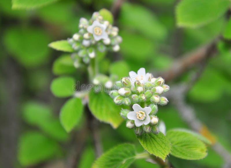Waxflower americana Jamesia royaltyfri fotografi