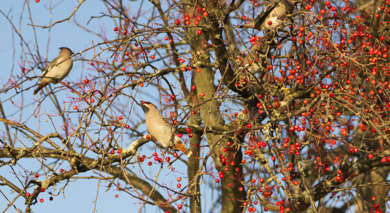 Waxwing (πουλί) που τρώει στοκ εικόνες