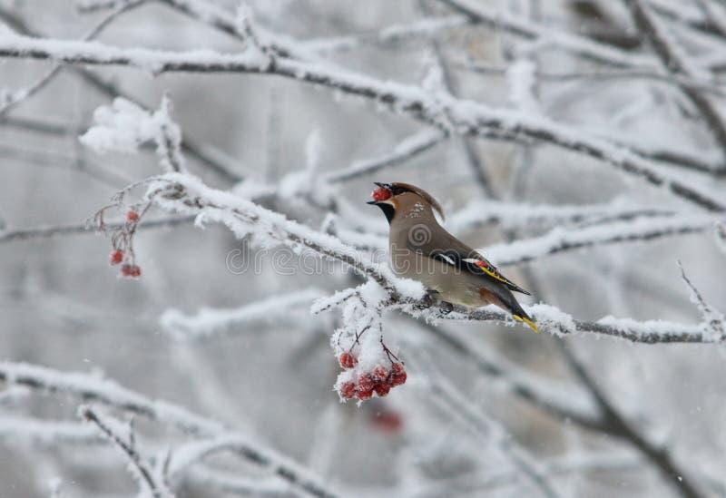 waxwing χειμώνας στοκ φωτογραφία
