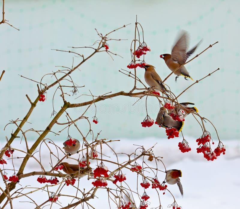 Waxwing птицы стоковые изображения