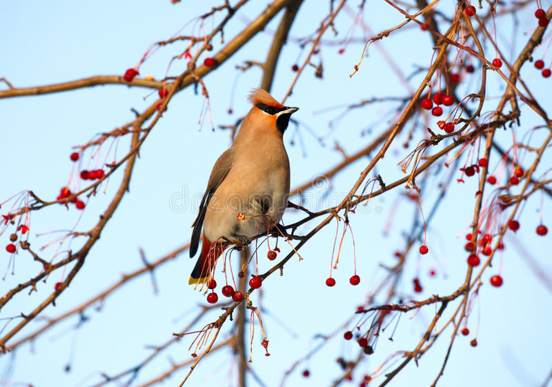 Download Waxwing. Stock Photo - Image: 18725070