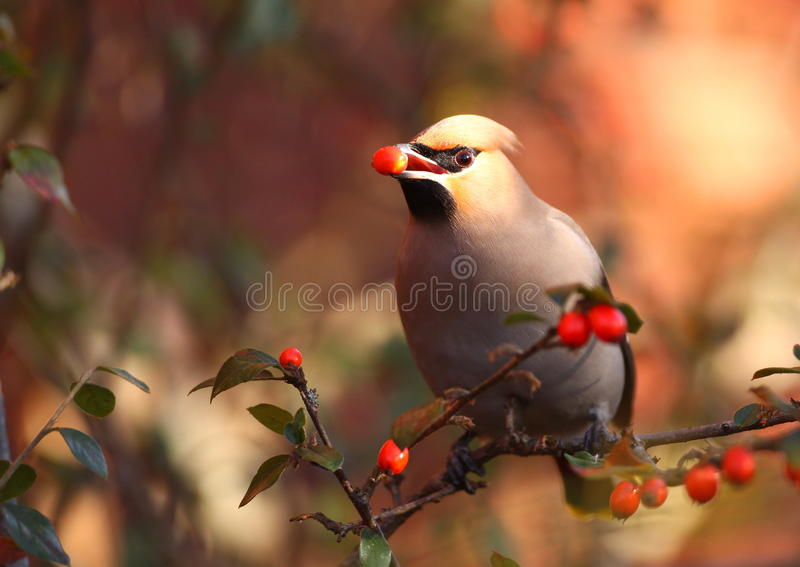 Waxwing royalty free stock image