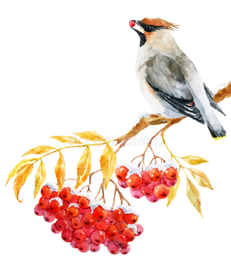 Free Waxwing Bird And Ashberry Royalty Free Stock Photography - 78008297