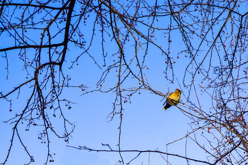 The waxwing bird sits on the branches of an apple tree, against the backdrop of a clean blue sky, wallpaper, background stock photo