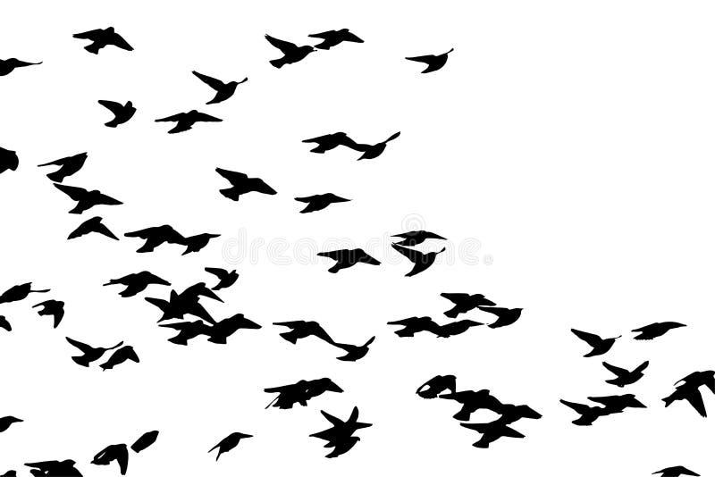 Waxwing bohemio en vuelo Silueta del vector una multitud de pájaros ilustración del vector