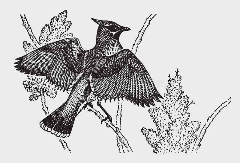 Waxwing bombycilla, das auf einer Niederlassung sitzt und seine Flügel verbreitet lizenzfreie abbildung