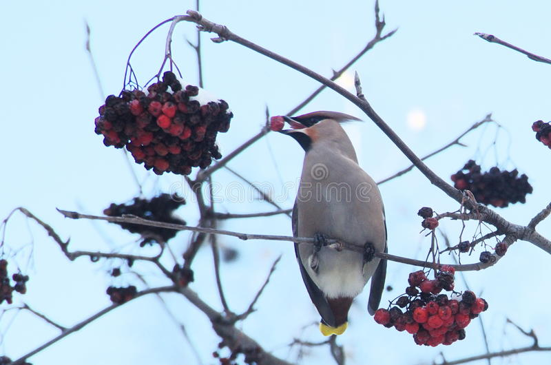 Waxwing eats berries of mountain ash. Winter. February. Waxwing eating rowan berries. Berry is clamped in its beak. Around the frozen bunches of rowan stock images