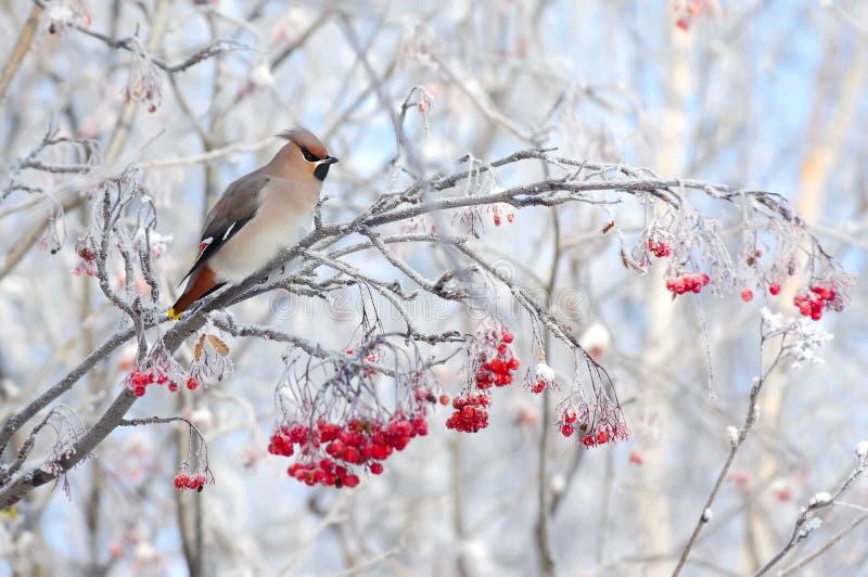 Waxwing en rama de árbol foto de archivo libre de regalías