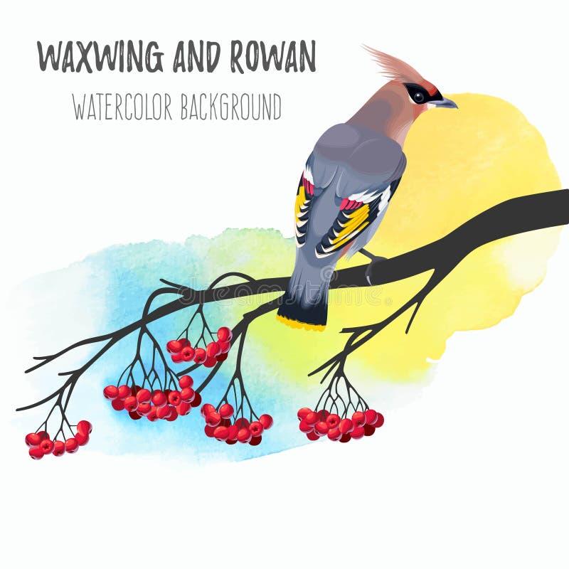 Waxwing en rama del serbal stock de ilustración