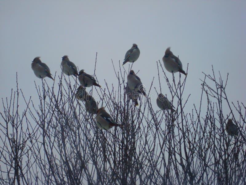 Waxwing, of gewone Waxwing lat Bombycillagarrulus is een zangvogel van een passerineorde van de waxwingsfamilie stock foto's