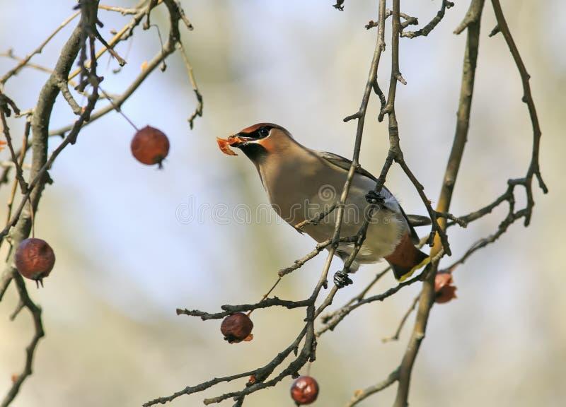 Waxwing que come las manzanas congeladas en el parque fotos de archivo libres de regalías