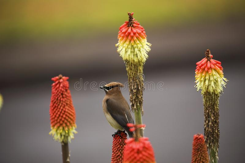 Waxwing 1a stockfoto