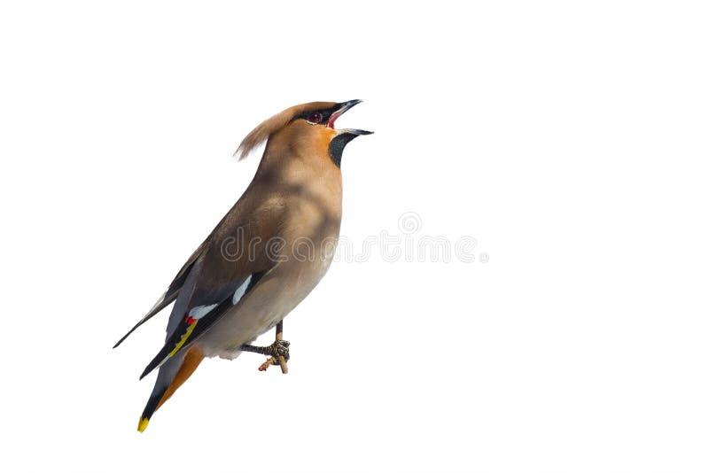 waxwing Um pássaro em um fundo branco em um ramo que canta uma música ilustração stock