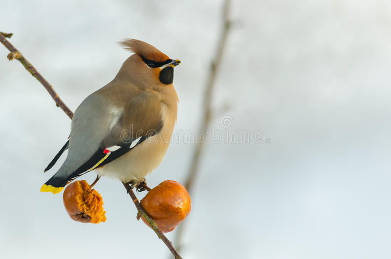Waxwing in winter royalty free stock images