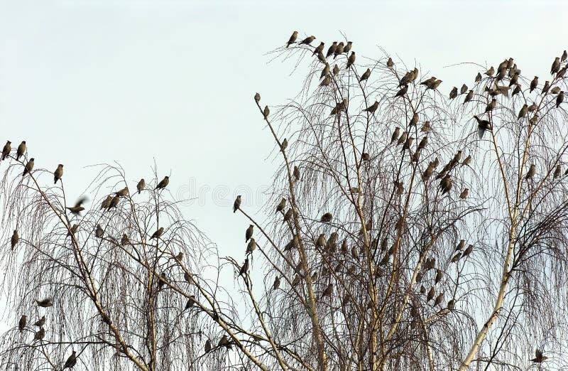 Waxwings кедра Стоковая Фотография RF