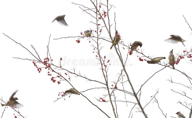 Waxwings кедра в дереве ягоды стоковое изображение rf