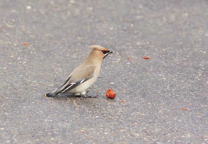 Waxwings del pájaro que comen manzanas en el pavimento en el parque imagenes de archivo