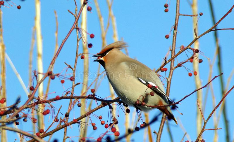 Waxwings eating berries on a branch of viburnum. stock photography