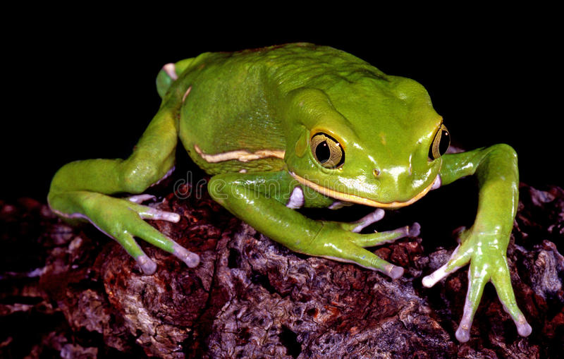 Waxy Monkey Tree Frog. stock images