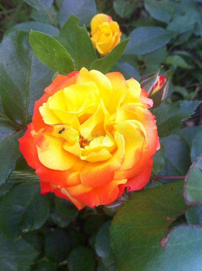 Yellow rose in a flowerbed! Odessa, Ukraine 2017 stock photo