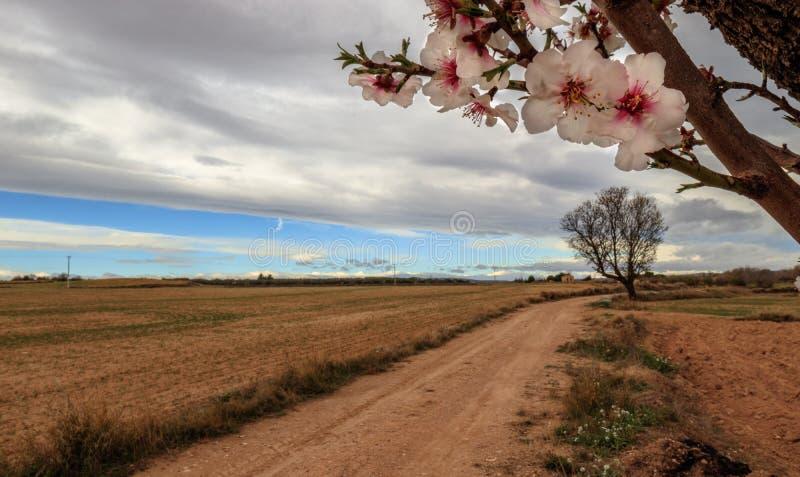 Almond flowers way royalty free stock image