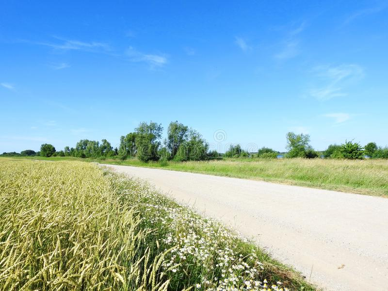 Way and wheat field in summer , Lithuania royalty free stock image