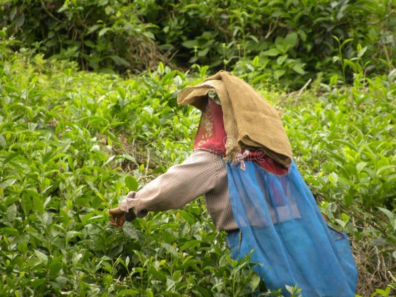 Wayanad, Kerala, Inde - 1er janvier 2009 feuilles de thé de cueillette de femme d'A aux domaines de thé photos stock